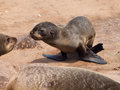 Brown fur seal arctocephalus pusillus young Royalty Free Stock Photo