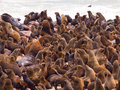 Brown fur seal colony arctocephalus pusillus at cape cross in namibia Stock Images
