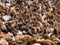 Brown fur seal colony arctocephalus pusillus at cape cross in namibia Stock Photography