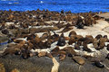 Brown fur seal Royalty Free Stock Photo