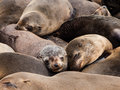 Brown fur seals arctocephalus pusillus sleeping Royalty Free Stock Photography