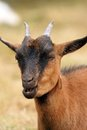 Brown goat chewing portrait food in its mouth Stock Photos