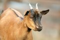 Brown goat closeup of a young male at the farm Royalty Free Stock Image