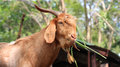 Brown goat eating Royalty Free Stock Photo