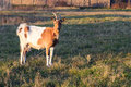Brown goat on the farm Royalty Free Stock Photo