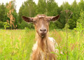 Brown goat in green village field farm animal Royalty Free Stock Image
