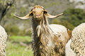Brown goat looking at the camera Royalty Free Stock Images