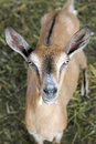 Brown goat portrait offspring of a Royalty Free Stock Image