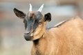 Brown goat ram portrait of a young with small horns Stock Image