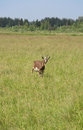 Brown goat stands in green field Royalty Free Stock Photo