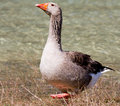 Brown Goose Stock Images