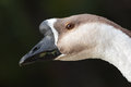 Brown goose close up of a gooses head on dark background Stock Photo