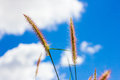 Brown grass and blue sky Royalty Free Stock Photos