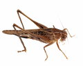 Brown Grasshopper isolated on white Royalty Free Stock Photography