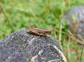 Brown grasshopper on a rock Royalty Free Stock Images
