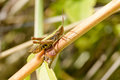 Brown and Green Cricket Royalty Free Stock Photo