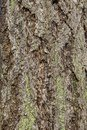 Brown with green tree bark texture background. Royalty Free Stock Photo