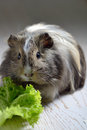 Brown guinea pig Royalty Free Stock Photo