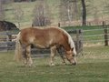 Brown haflinger horse on spring pasture south bohemia Royalty Free Stock Photography