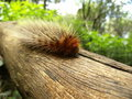 Brown hairy caterpillar on tree branch in swaziland walking Royalty Free Stock Image