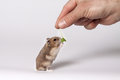 Brown hamster hand fed with leaves with white belly standing on hind legs Royalty Free Stock Photos