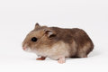 Brown hamster with white belly crawls on the ground Royalty Free Stock Images