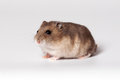 Brown hamster with white belly crawls on the ground Stock Image