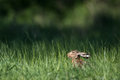 Brown hare cute lepus europaeus Royalty Free Stock Photography