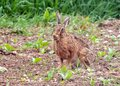 Brown Hare eating grasses. Royalty Free Stock Photo