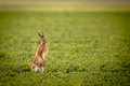 Brown hare (lepus europaeus) Stock Photos