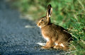 Brown hare lepus europaeus single mammal on grass Stock Image