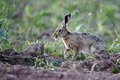 Brown hare lepus europaeus single mammal on grass warwickshire may Royalty Free Stock Photo