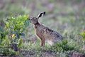 Brown hare lepus europaeus single mammal on grass warwickshire may Stock Photos