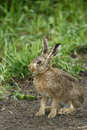 Brown hare lepus europaeus single mammal on soil warwickshire june Royalty Free Stock Photo