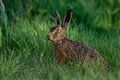 Brown hare looking watchful Royalty Free Stock Photo