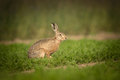 Brown hare a takes time out from munching on carrot tops to cast a wary glance at the camera Royalty Free Stock Photo