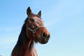 Brown head of a horse Royalty Free Stock Photo