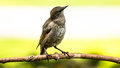 Brown headed cowbird fledgling molothrus ater perching on a branch Stock Image