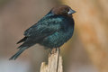 Brown headed cowbird male perched on an old fence post Stock Photos