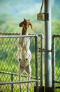 Brown headed goat standing Stock Photography