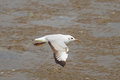 Brown headed gull chroicocephalus brunnicephalus is flying Royalty Free Stock Images
