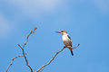 Brown headed kingfisher mkuze reserve south africa Stock Photo