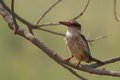Brown headed paradise kingfisher tanysiptera danae in kruger national park south africa Stock Images