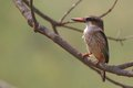 Brown headed paradise kingfisher tanysiptera danae in kruger national park south africa Royalty Free Stock Image