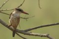 Brown headed paradise kingfisher tanysiptera danae in kruger national park south africa Stock Image