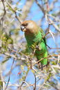 Brown Headed Parrot Stock Images