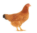 Brown hen Stock Photos