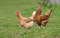Brown hen. chicken farm. Homemade poultry. Rustic look. Royalty Free Stock Photo
