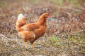 Brown hen chicken standing in field use for farm animals, livest Royalty Free Stock Photo