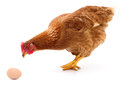 Brown hen and egg. Royalty Free Stock Photo